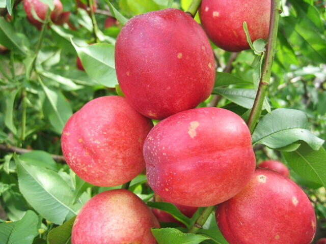 Nektarinka - velmi raná 'Neve' - Prunus persica 'Neve'