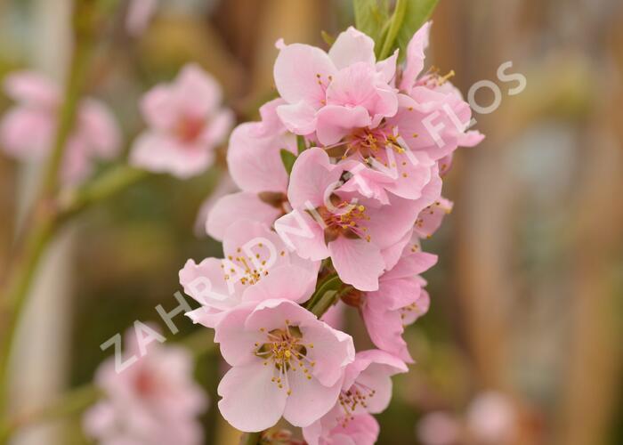 Broskvoň 'Cling' - Prunus persica 'Cling'