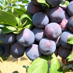 Slíva - raná 'Bryská' - Prunus domestica 'Bryská'
