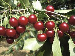 Višeň  pozdní - kyselka 'Újfehértoi Fürtös' - Prunus cerasus 'Ujfehértoi Fürtös'