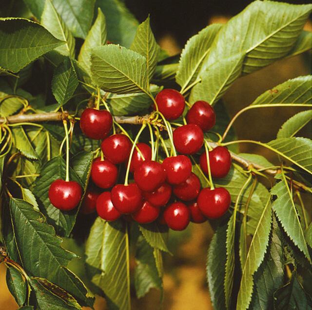 Třešeň pozdní - chrupka 'Sam' - Prunus avium 'Sam'