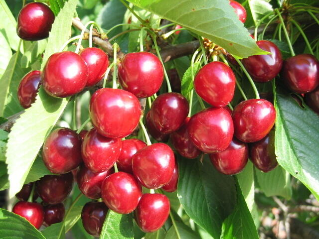 Třešeň raná - srdcovka 'Helga' - Prunus avium 'Helga'