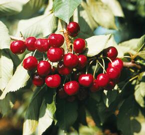 Třešeň pozdní - chrupka 'Halka' - Prunus avium 'Halka'