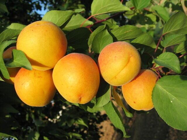 Meruňka - raná 'Legolda' - Prunus armeniaca 'Legolda'
