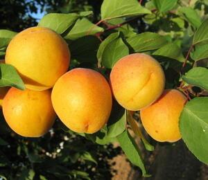 Meruňka raná 'Legolda' - Prunus armeniaca 'Legolda'