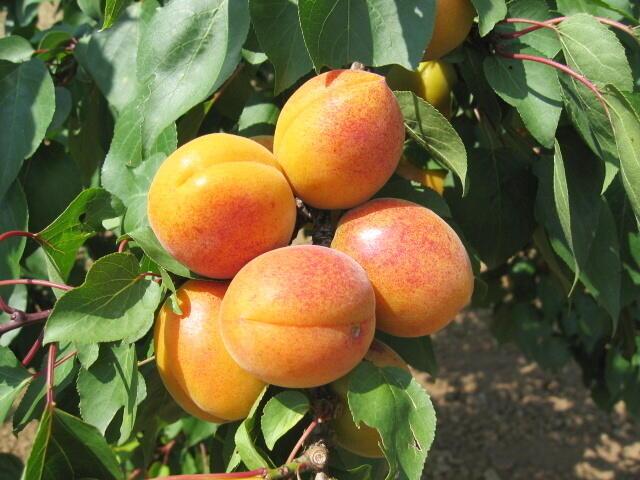 Meruňka - raná 'Lebona' - Prunus armeniaca 'Lebona'