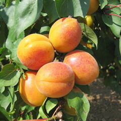 Meruňka velmi raná 'Ledana' - Prunus armeniaca 'Lebona'