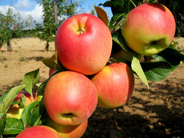 Jabloň zimní 'Svatava' - Malus domestica 'Svatava'