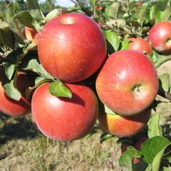 Jabloň zimní 'Rosana' - Malus domestica 'Rosana'