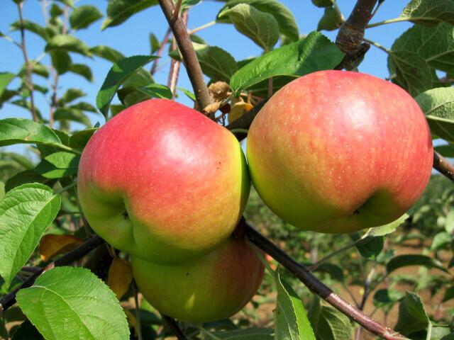 Jabloň zimní 'Ontario' - Malus domestica 'Ontario'