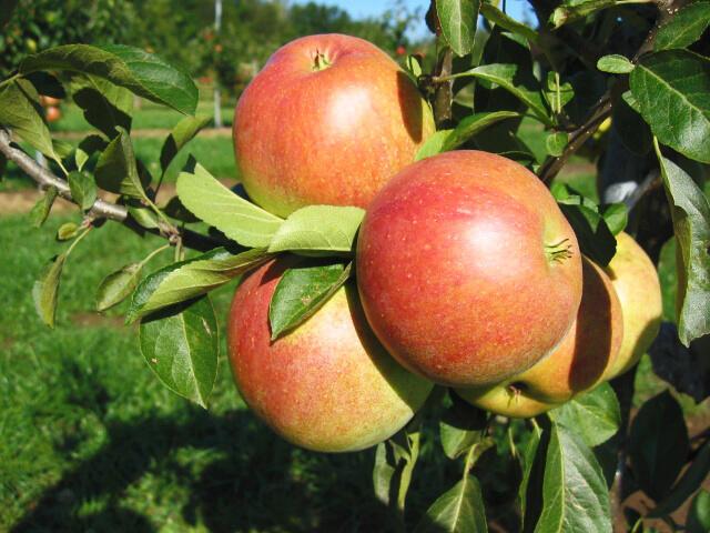 Jabloň zimní 'Nabella' - Malus domestica 'Nabella'