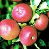 Jabloň zimní 'Lord Lambourne Red' - Malus domestica 'Lord Lambourne Red'