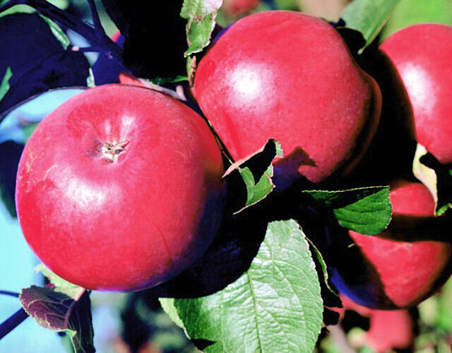Jabloň zimní 'Klára' - Malus domestica 'Klára'