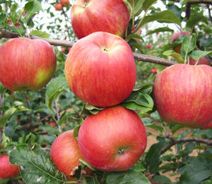 Jabloň zimní 'Delor' - Malus domestica 'Delor'