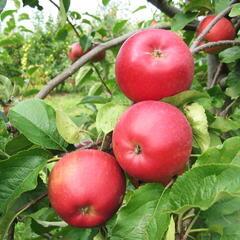 Jabloň zimní 'Aneta' - Malus domestica 'Aneta'