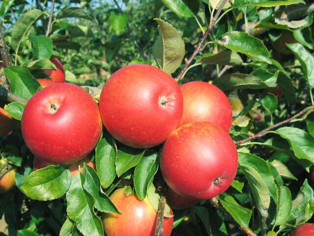 Jabloň podzimní 'Akane' - Malus domestica 'Akane'