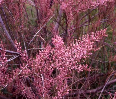 Tamaryšek kaspický 'Rubra' - Tamarix ramosissima 'Rubra'