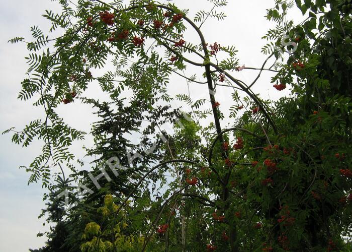 Jeřáb obecný 'Pendula' - Sorbus aucuparia 'Pendula'