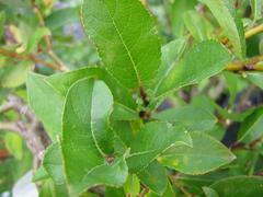 Vrba 'Finsko' - Salix hastata 'Finsko'