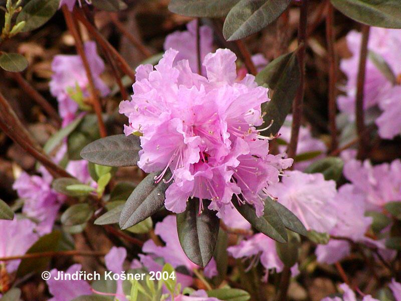Pěnišník 'P. J. Mezitt' - Rhododendron 'P. J. Mezitt'