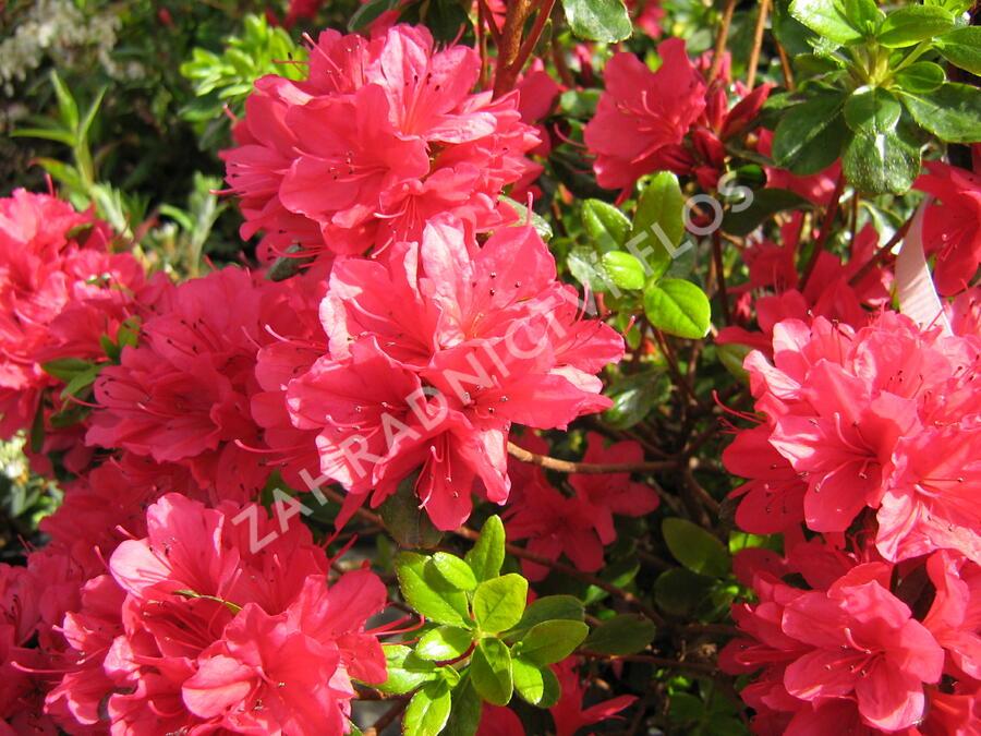 Azalka japonská 'Hino Crimson' - Azalea japonica 'Hino Crimson'