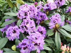 Pěnišník 'Blue Jungs' - Rhododendron 'Blue Jungs'