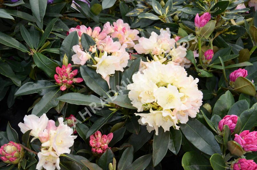 Pěnišník 'Golden Torch' - Rhododendron (Y) 'Golden Torch'