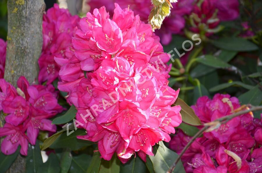 Pěnišník 'Edward S. Rand' - Rhododendron (T) 'Edward S. Rand'