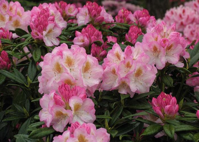 Pěnišník 'Brigitte' - Rhododendron (T) 'Brigitte'