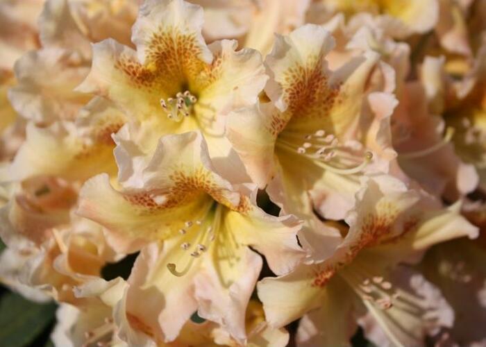 Pěnišník 'Bernstein' - Rhododendron (T) 'Bernstein'