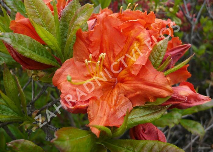Azalka 'Orange' - Azalea (KH) 'Orange'