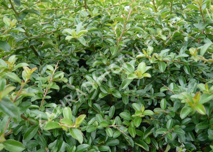 Hlohyně šarlatová 'Teton' - Pyracantha coccinea 'Teton'
