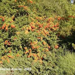 Hlohyně šarlatová 'Kasan' - Pyracantha coccinea 'Kasan'