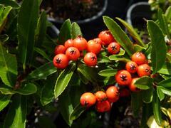 Hlohyně šarlatová 'Fiery Cascade' - Pyracantha coccinea 'Fiery Cascade'
