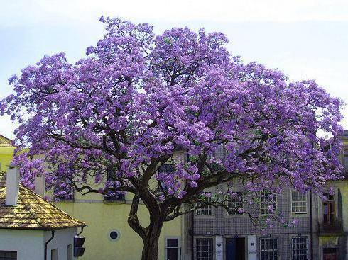 Paulovnie plstnatá - Paulownia imperialis