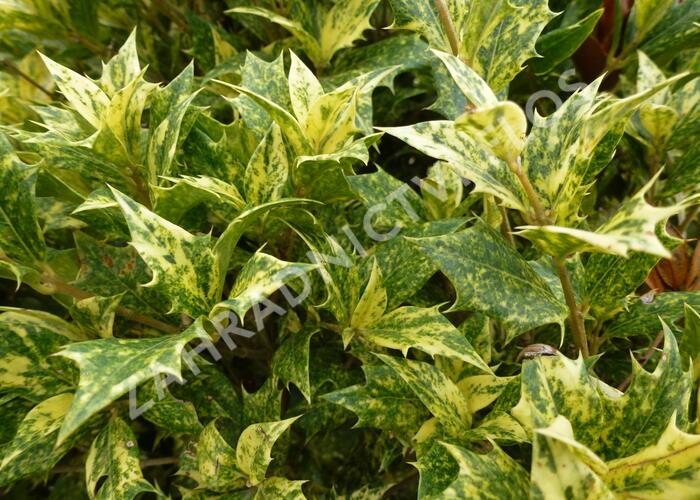 Vonokvětka různolistá 'Tricolor' - Osmanthus heterophyllus 'Tricolor'