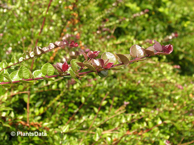 Zimolez lesklý 'Red Tips' - Lonicera nitida 'Red Tips'