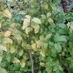 Ptačí zob japonský 'Lemon and Lime' - Ligustrum japonicum 'Lemon and Lime'