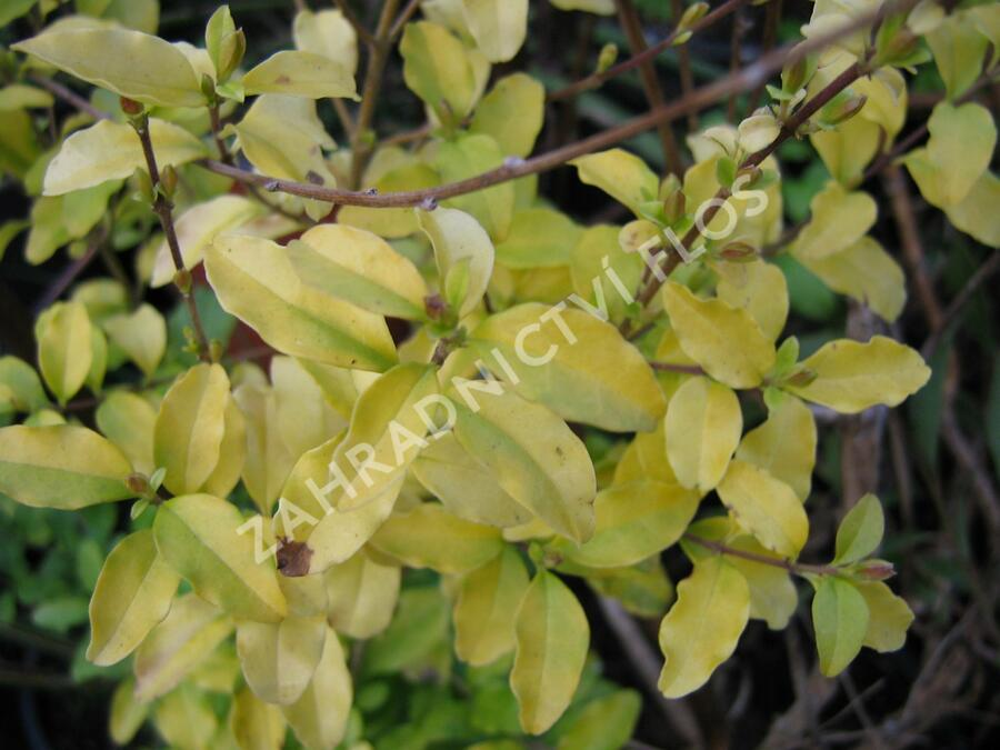 Ptačí zob japonský 'Lemon and Lime' - Ligustrum japonicum 'Lemon and Lime'