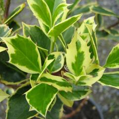 Cesmína obecná 'Aureovariagata' - Ilex aquifolium 'Aureovariagata'