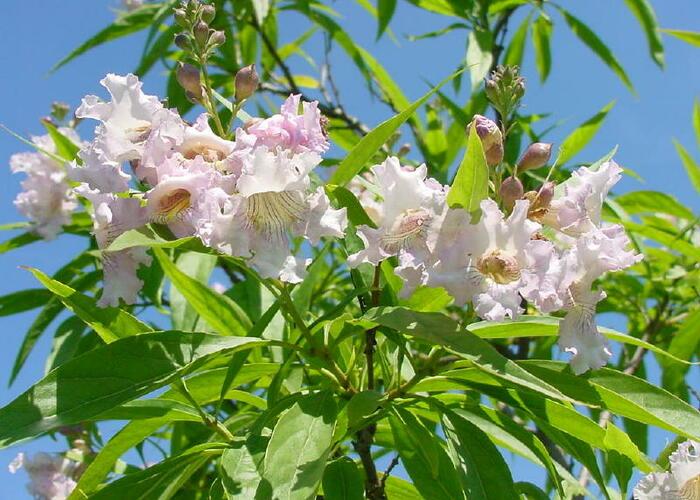 Chitalpa taškentská 'Summer Bells' - Chitalpa tashkentensis 'Summer Bells'