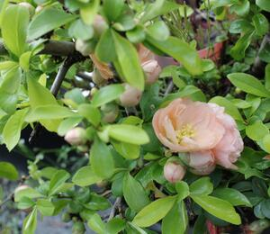 Kdoulovec japonský 'Cameo' - Chaenomeles japonica 'Cameo'