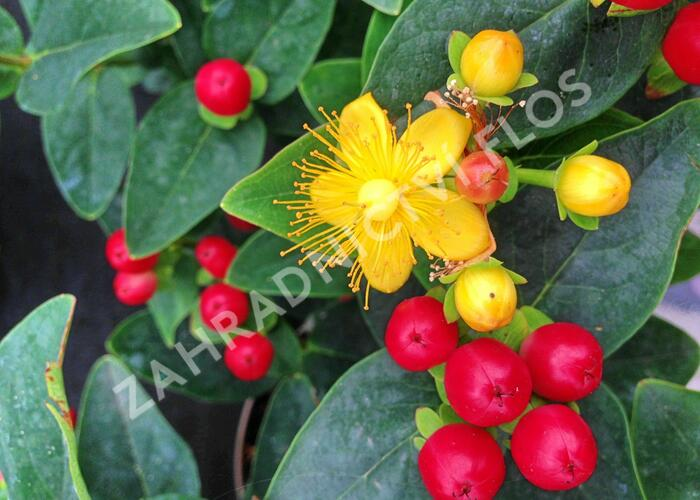 Třezalka 'Miracle Attraction' - Hypericum 'Miracle Attraction'