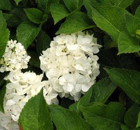 Hortenzie velkolistá 'Weisse' - Hydrangea macrophylla 'Weisse'