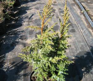 Jalovec stěsnaný 'Loderi' - Juniperus pingii 'Loderi'