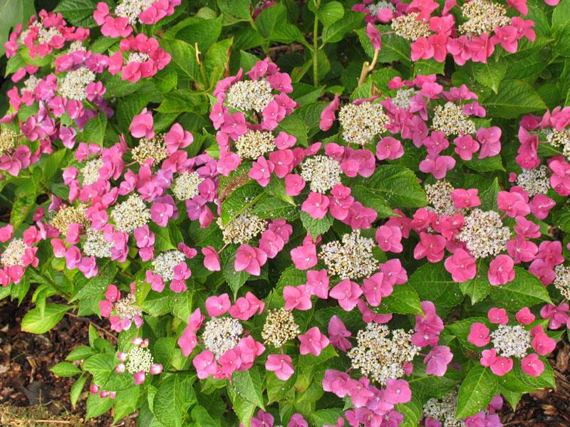 Hortenzie velkolistá 'Papagei' - Hydrangea macrophylla 'Papagei'