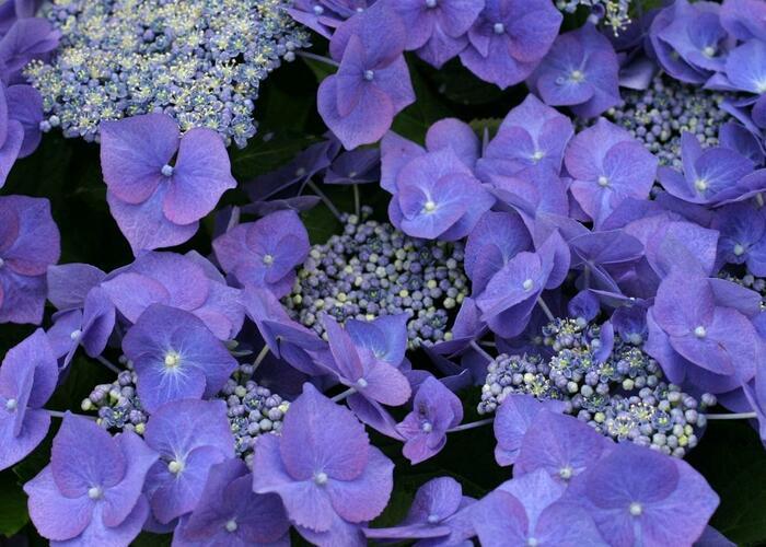 Hortenzie velkolistá 'Blue Sky' - Hydrangea macrophylla 'Blue Sky'