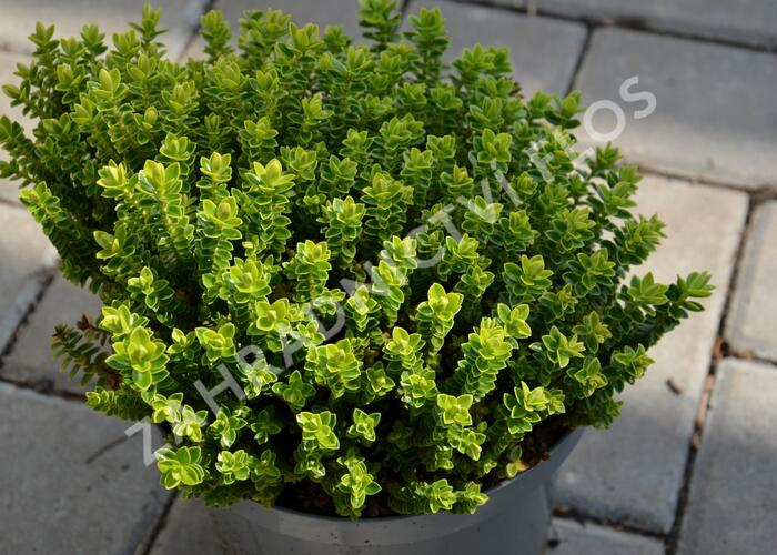 Hebe 'Nana' - Hebe buxifolia 'Nana'