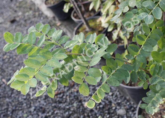 Slaník stříbrný - Halimodendron halodendron