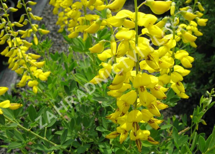 Kručinka barvířská 'Royal Gold' - Genista tinctoria 'Royal Gold'